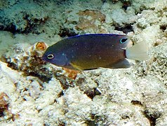 Whitetail damselfish (Pomacentrus chrysurus)