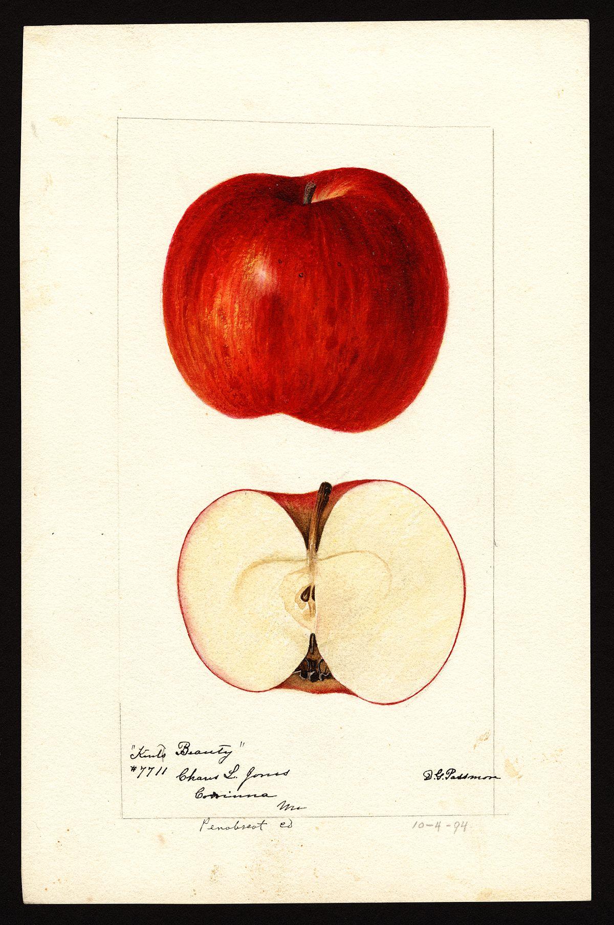 beauty of kent  apple