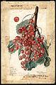 Pomological Watercolor POM00007148.jpg