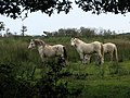 Ponies in Hickling Broad National Nature Reserve - geograph.org.uk - 578015.jpg