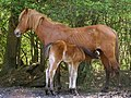 Pony and foal, Dilton, New Forest - geograph.org.uk - 408504.jpg