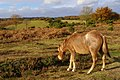 Pony grazing alongside the road to Holmsley Passage, New Forest - geograph.org.uk - 624623.jpg