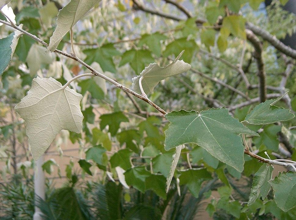 Populus alba1