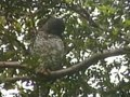 Tập tin:Powerful Owl.ogv
