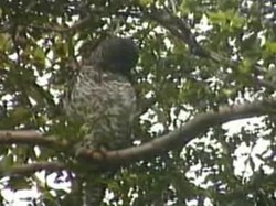 Ficheru:Powerful Owl.ogv