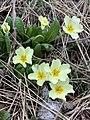Primula vulgaris 126365631.jpg