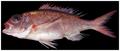 Pristipomoides aquilonaris - pone.0010676.g086.png