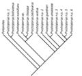Proctoporus cladogram.png