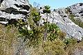 Protea cynaroides (8457653803).jpg