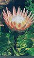Protea orange.jpg