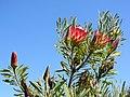 Protea sp.? (8044382157).jpg