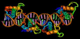 Retinoid X receptor gamma protein-coding gene in the species Homo sapiens