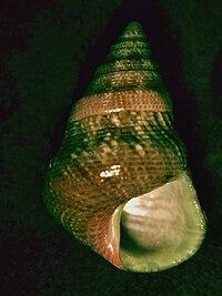 Prothalotia lehmanni 002.jpg