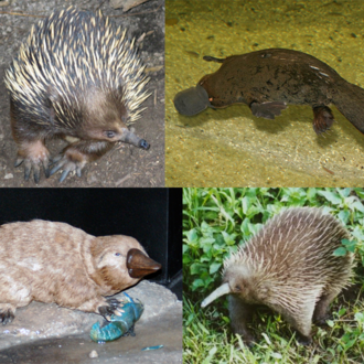Monotreme - A short-beaked echidna, a platypus, a Steropodon reconstruction and a western long-beaked echidna