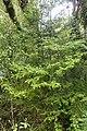 Prumnopitys ferruginea kz7.jpg