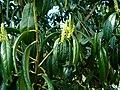 Prunus laurocerasus-22.JPG