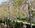 Prunus subhirtella Weeping Flowering Cherry plants growing in NJ in April.jpg
