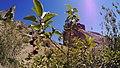 Prunus virginiana var. demissa with mature fruit.jpg