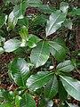 Psychotria hawaiiensis var. hillebrandii (5516131161).jpg