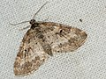 Pterapherapteryx sexalata - Small Seraphim - Пяденица шестикрылая (40248589734).jpg
