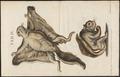 Pteromys volans - 1700-1880 - Print - Iconographia Zoologica - Special Collections University of Amsterdam - UBA01 IZ20400099.tif