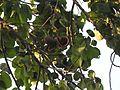 Pterygota alata-2-salem-India.jpg