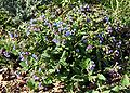 Pulmonaria officinalis pl.jpg