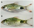 Puntius filamentosus and P. assimilis.png