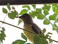 Purple-rumped sunbird .jpg