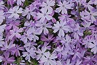 PurpleFlowerWade.JPG