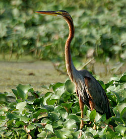 Purple Heron (Ardea purpurea) in Kolleru, AP W IMG 4052.jpg