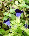 Purple bell flower2.jpg