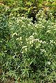 Pycnanthemum virginianum kz1.jpg