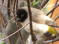 Pycnonotus xanthopygos 001.jpg