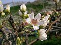 Pyrus pyrifolia var culta2.jpg