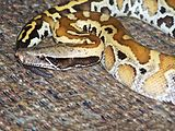 Python brongersmai.jpg