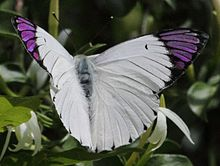 Queen purple tip (Colotis regina).jpg