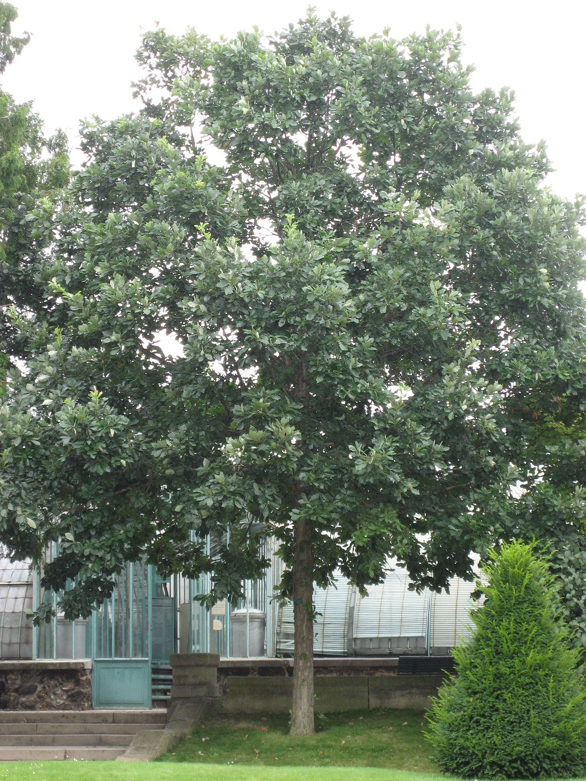 Quercus Bicolor Wikip 233 Dia
