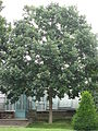 Quercus bicolor 01 by Line1.jpg
