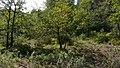 Quercus canariensis Espuna120939.jpg