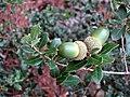 Quercus coccifera (Kermes Oak), Agiasos, Lesbos, Greece.jpg