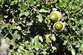 Quercus coccifera con bellotas.jpg