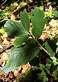 Quercus rugosa kz2.jpg