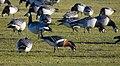 Rödhalsad Gås Red-breasted Goose (20342515842).jpg