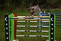 Rabbit Show Jumping - Advanced.jpg