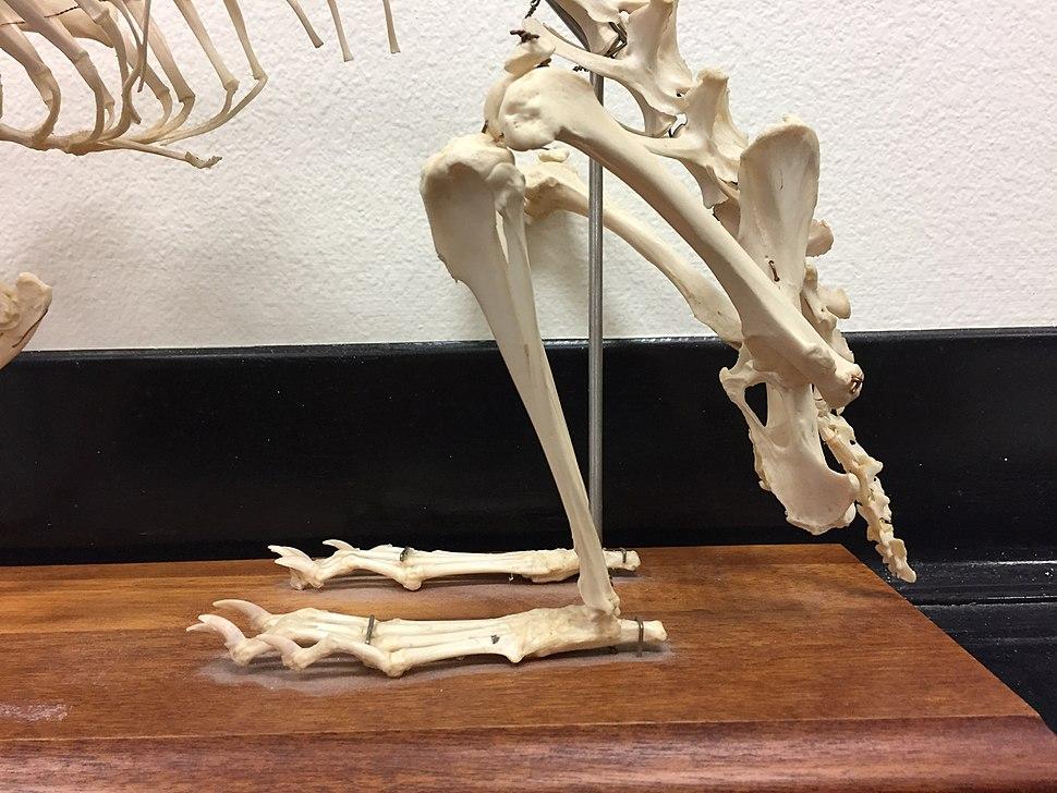 Rabbit hind limb skeleton