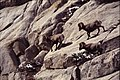 Rams running, Wheeler Crest, 2007 (5507029675).jpg