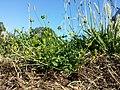 Ranunculus sardous subsp. sardous sl3.jpg