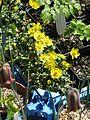 Ranunculus sp. Cazorla (26235138783).jpg