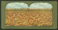 Ready for market, bunch of sheep in Corral, N.D, from Robert N. Dennis collection of stereoscopic views.png